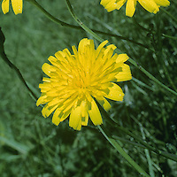 CAT'S-EAR Hypochaeris radicata (Asteraceae) Height to 50cm. Tufted perennial with hairless stems. Grows in dry grassland. FLOWERS are borne in heads, 25-40mm across, with yellow florets much longer than the bristly, purple-tipped bracts; flower stalks branch 1-2 times and are swollen beneath the solitary heads (Jun-Sep). Scales present between florets. FRUITS are beaked with some feathery hairs. LEAVES are oblong, bristly, wavy-edged; form a basal rosette. STATUS-Common.