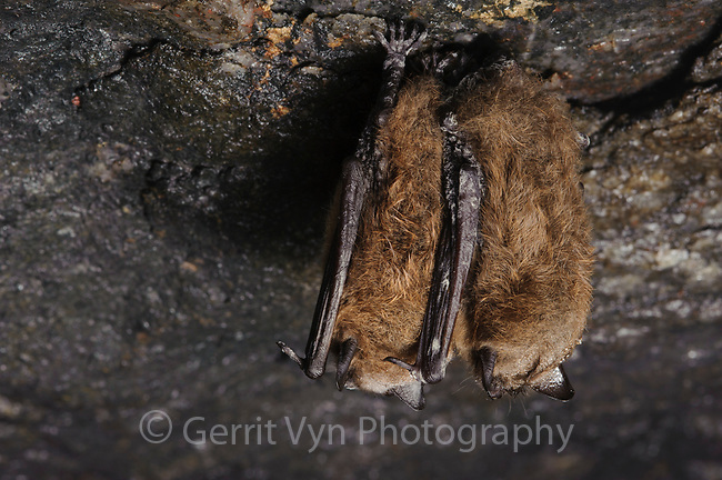 Two Little Brown Bats hibernating in a mine. Bats lives in the winter require a delicate balance of temperature and humidity where they can sit for weeks at a time without moving. White-nose syndrome is thought to be somehow disrupting this balance.