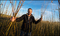 BNPS.co.uk (01202 558833)<br /> Pic: PhilYeomans/BNPS<br /> <br /> Richard Roberts in his willow field....<br /> <br /> One ancient tradition has benefitted from the watery travails of the Somerset levels this year - The annual willow harvest has just begun, with the fast growing tree's putting on 9 feet of growth this year in the damp soil.<br /> <br /> Untill the second war over 3000 acres of the precarious landscape were producing 'Black Maul', the local name for Salix triundra, as they had for thousands of years. <br /> <br /> Farmer Richard Roberts has one of the last surviving willow beds on his farm at the famous battlefield of Sedgemoor in the heart of the levels.<br /> <br /> But despite the drastic reduction in demand as plastic bags and containers took over, his business is now booming as traditional woven products like panniers, baskets and even coffins come back into fashion.<br /> <br /> 'Willow weaving must have been one of the first skills learned by prehistoric man' say's Richard 'And its fantastic that it still has a use in the twenty first century'.