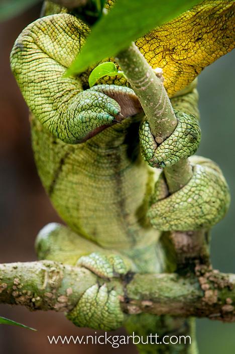 Grasping foot of Male Parson's Chameleon (Calumma parsonii) in rainforest understorey. Masoala National Park, Madagascar.