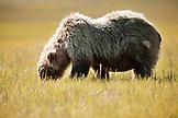 USA, Alaska, Homer, a grizzly bear grazes on vegetation, Katmai National Park, Katmai Peninsula, Hallow Bay, Gulf of Alaska