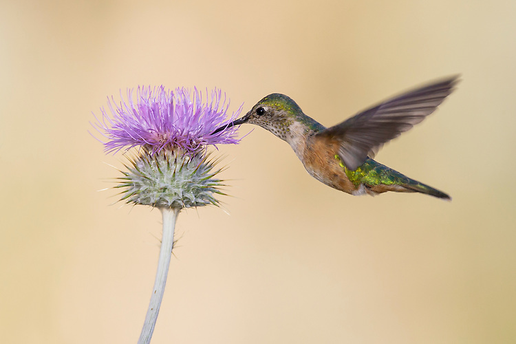Broad-tailed hummingbird - Selasphorus platycercus - Adult female