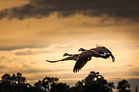A pair of Canada geese in flight against an evening sky at a regional park near the Oakland International Airport.