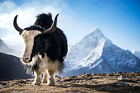 A yak stands in Dzongla with Ama Dablam in the background. Nepal.