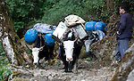 Dr Shresth Tayal (right), Glaciologist at The Energy and Resources Institute (TERI) watches equipment being hauled by Dzo's (Half cow - half yak) toward the fast reducing Rathong Glacier below the 6678 meter Rathong Peak during a three day hike in the North East Indian state of Sikkim close to the Nepalese border. Considered to be a themometre of the environment, it has been chosen by TERI to be a test case of environmental damage being done in India and China. Dr. Tayal is conducting three dimensional tests that include measuring the depth of the ice to form concrete conclusions on the fate of the glacier.The Indian Government is denying the glaciers' demise despite data suggesting it has been reduced by more than over 80% in the last 42 years.