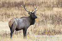 01980-03015 Elk (Cervus elaphaus) bull male, Yellowstone National Park, WY