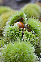 Fresh chestnuts in their protective bur