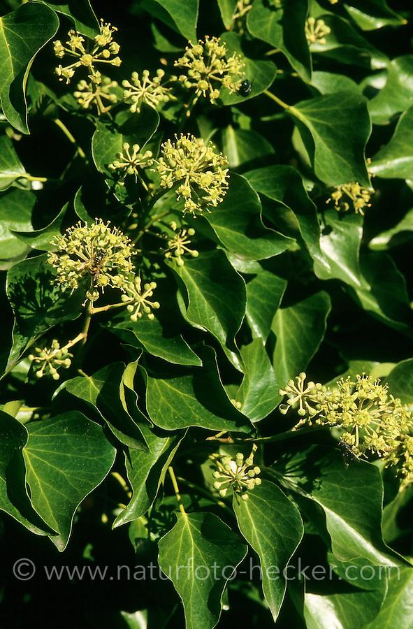 Gewöhnlicher Efeu, Blüten, Hedera helix, Common Ivy