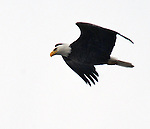 "Bald Eagle, seen near the Saugerties Lighthouse,  during the ""Signs of Spring"" nature walk guided by Steve Chorvas, and co-sponsored by the Esopus Creek Conservancy and the John Burroughs Natural History Society, on Saturday, March 22, 2014. Photo by Jim Peppler. Copyright Jim Peppler 2014, All rights Reserved."