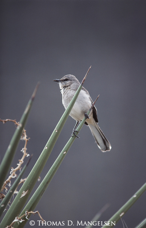 Northern Mockingbird perched in an agave in Big Bend National Park.