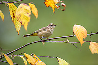 Palm Warbler in autumn