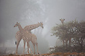 Namibia;  Namib Desert, Skeleton Coast, Hoanib River, giraffes (Giraffa camelopardalis) in fog, marine fog moving far inland from coast