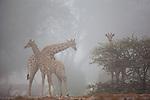 Namibia;  Namib Desert, Skeleton Coast, Hoanib River, giraffes (Giraffa camelopardalis) in fog, marine fog moving far inland from coast