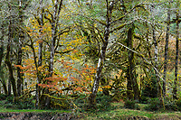 Alder Forest, Olympic National Park