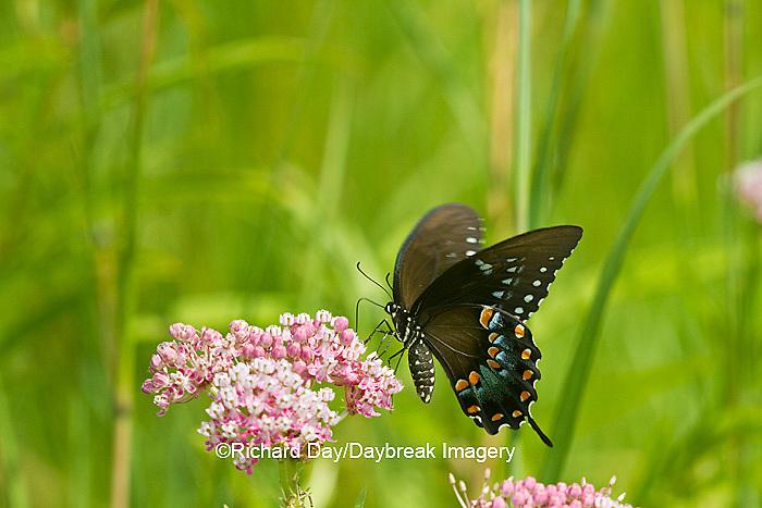 03029-01401 Spicebush Swallowtail butterfly (Papilio troilus) on Swamp Milkweed (Asclepias incarnata) Marion Co., IL