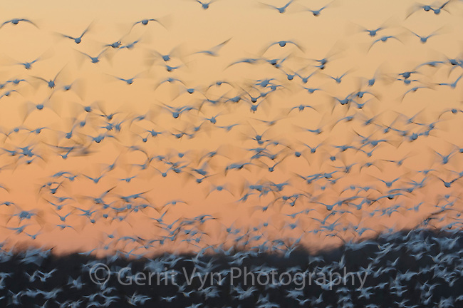 "Flock of ""Greater"" Snow Geese (Chen caerulescens) taking flight at sunset during migration. Montezuma NWR, New York. March."