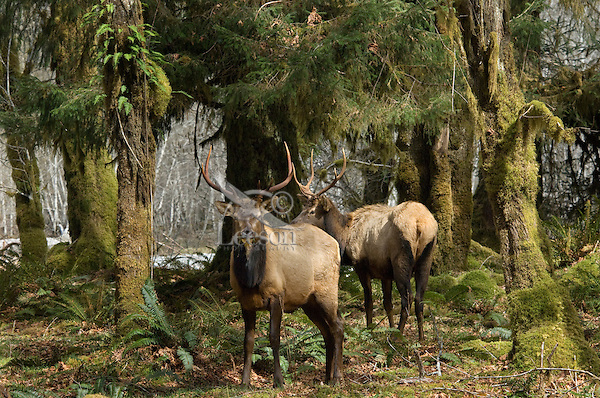Roosevelt Elk bulls (Cervus elaphus roosevelti) in Olympic National Park temperate rain forest.