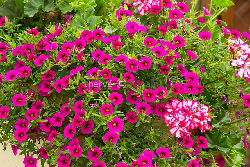 jardinière avec surfinias 'Million Bells Bouquet Brilliant Pink' (Petunia 'Million Bells Bouquet Brilliant Pink') et pélargonium 'Rouletta' // Geraniums 'Rouletta' (Pelargonium 'Rouletta') and petunias 'Million Bells Bouquet Brilliant Pink' in window box