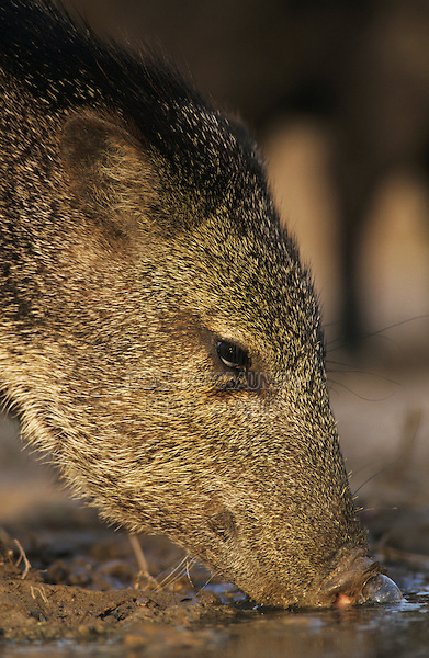 Collared Peccary, Javelina, Tayassu tajacu, adult drinking, Starr County, Rio Grande Valley, Texas, USA