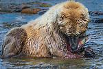 Brown bears, sockeye salmon, Katmai National Park, Alaska