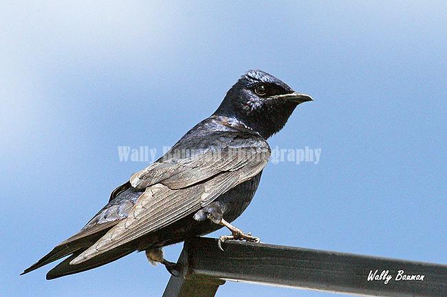 PURPLE MARTIN progne subis<br /> Birds of North America,