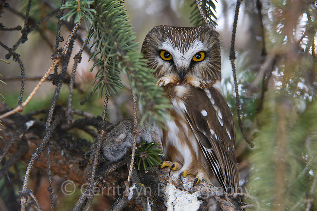 Northern Saw-whet Owl (Aegolius acadicus) roosting with prey. Washington. February.