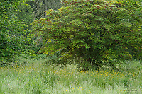 Maple tree and meadow