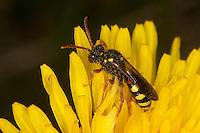 Wespenbiene, Kuckucksbiene, Wespen-Biene, Kuckucks-Biene, Weibchen, Nomada spec., cuckoo bee, cuckoo-bee, Wespenbienen, Kuckucksbienen, cuckoo bees, cuckoo-bees