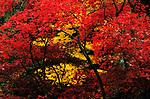 Autumn leaves in the University of Washington Japanese Garden in the Arboretum Seattle Washington Stater USA