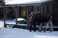 """Amérique/Amérique du Nord/Canada/Québec/ Mauricie/Mandeville: A la pourvoirie Koubek à Lac La Chute - """"Moose"""" femelle Orignal apprivoisée"""