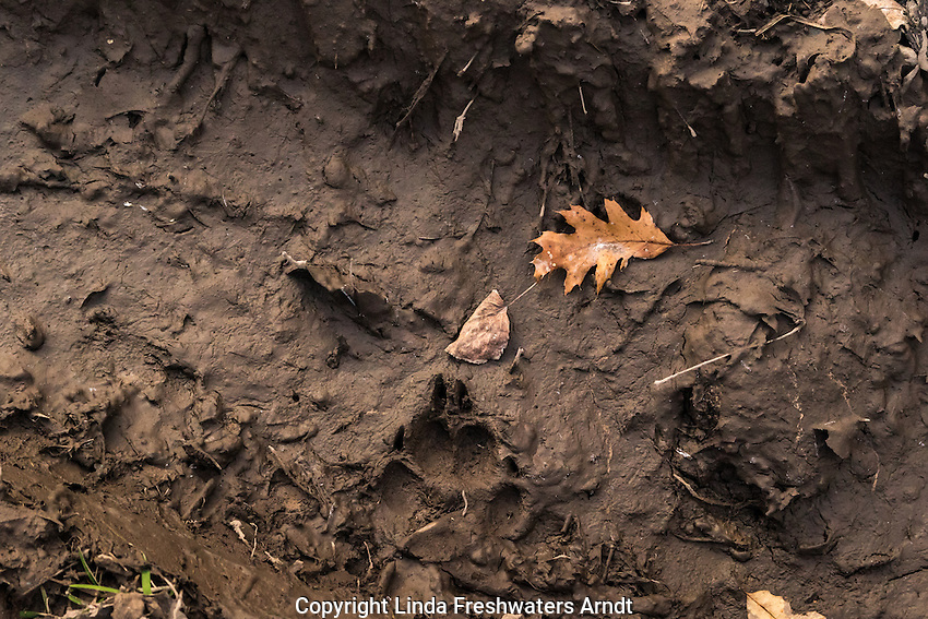 Gray wolf footprint in the  mud