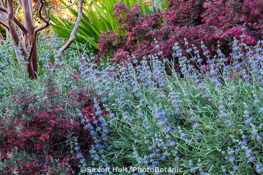 Salvia flowering in Arlington Garden, Pasadena