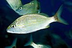 Haemulon aurolineatum, Tomtate, Florida Keys