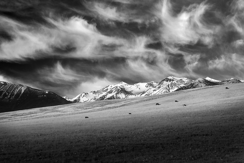 Cows graziing in pasture with wallowa mountains. Oregon