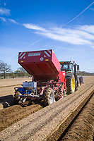 Planting Maris Piper potatoes - Suffolk, March
