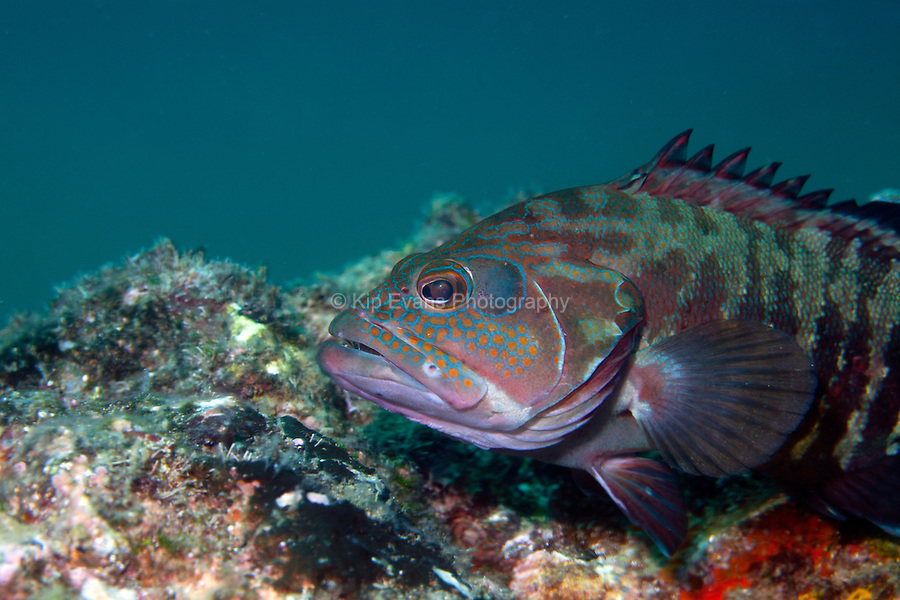 A closeup of a grouper off the coast of Coiba, Panama.