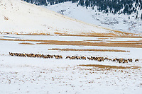 Elk wintering on the National Elk Refuge near Jackson, Wyoming,  Dec.
