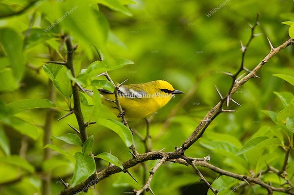 Blue-winged Warbler, Vermivora pinus; Indiana