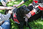 Charcoal, a therapy dog from Go Team, a non-profit organization that trains therapy, crisis and service dogs, enjoys attention from students gathered on the Lincoln Park Quad for Dogs on the Quad, an event hosted by the DePaul Activities Board and Health Promotion and Wellness team, Wednesday, May 31, 2017. Therapy dogs were on hand to help students deal with the stress and anxiety that often comes up during finals. The event was part of Brain Fuel Week, a week of events designed to help students de-stress as they head into finals. (DePaul University/Arielle Toub)