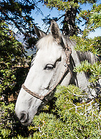 A horse rests during a mule deer hunt on Greyback Ridge in the Hoeback Drainage of Wyoming Region H,  in Wyoming, September 21, 2015.<br /> <br /> Photo by Matt Nager