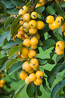 Crabapple fruits in yellow of Malus x zumi 'Golden Hornet' showing tree laden with crab apples in autumn fall . Crab apple