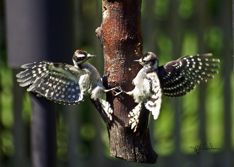 A male and felmale Downy woodpecker with their wings spread landing on opposite sides of a hanging log located in Boston, New York