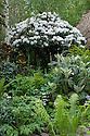 Rhododendron 'Cunningham's White', Furzey Garden, designed by Chris Beardshaw, RHS Chelsea Flower Show 2012.