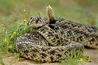 467010156 a wild western diamondback rattlesnake crotalus atrox lays coiled in a defensive threat posture in a small field of flowers on santa clara ranch starr county texas