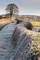 Frost on a hedge, Chipping, Lancashire.....Copyright..John Eveson, Dinkling Green Farm, Whitewell, Clitheroe, Lancashire. BB7 3BN.01995 61280. 07973 482705.j.r.eveson@btinternet.com.www.johneveson.com