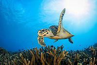hawksbill sea turtle, Eretmochelys imbricata, critically endangered species, Gan, Maradhoo, Addu Atoll, Maldives, Laccadive Sea or Lakshadweep Sea, Indian Ocean