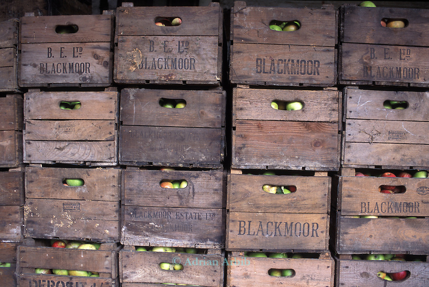 Apples being stored at JC Algroves'  orchards, Langley. Slough.