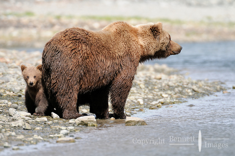 A baby peeks out from behind its mother at a tidal lagoon in Alaska's McNeil River State Game Sanctuary.