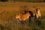 Africa  Kenya Masai Mara lions