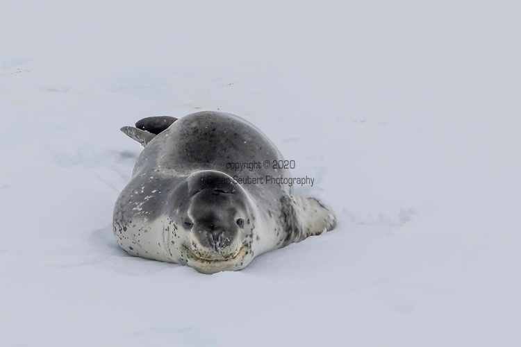 A leopard seal, the Antarctic's top predator, hauled out on an iceberg in the Weddell Sea, Antarctica